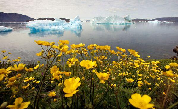 Fiori di campo sbocciano sul pendio di una collina in un fiordo pieno di iceberg vicino alla città di Narsaq, Groenlandia, il 27 luglio 2009. - Sputnik Italia