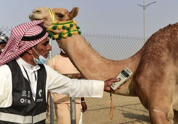 Negli ultimi anni la corsa dei cammelli è stata modernizzata, senza però rinunciare alla sua essenza tradizionale. - Sputnik Italia