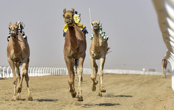 Il Crown Prince Camel Festival (Festival del cammello del principe ereditario dell'Arabia Saudita) è stato inaugurato domenica 8 agosto nella città di Taif, nella provincia della Mecca, in Arabia Saudita. È la terza edizione dell'evento, nel corso del quale si svolgeranno 532 gare. - Sputnik Italia