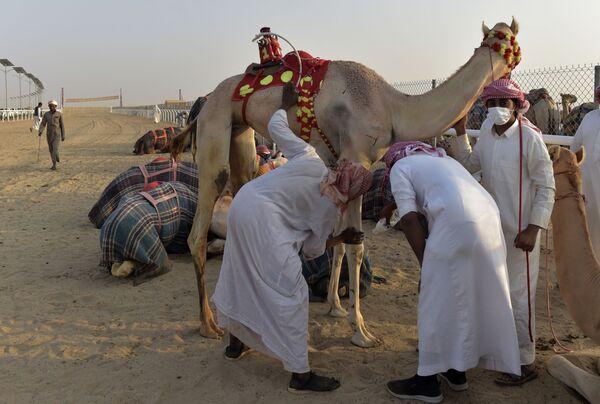 I partecipanti al festival lotteranno per aggiudicarsi il premio di 1 milione di Riyal sauditi (circa 227 mila euro), che verra assegnato al proprietario del cammello con il maggior numero di punti guadagnati nelle corse pubbliche durante il festival. - Sputnik Italia