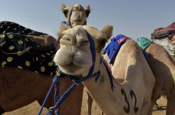 Le prime due edizioni del festival hanno riscosso grande successo e hanno segnato un cambiamento qualitativo nello sport delle corse di cammelli. All'evento ha partecipato il principe ereditario Mohammed bin Salman, che ha assistito alla cerimonia di chiusura e ha assegnato i premi ai vincitori. - Sputnik Italia