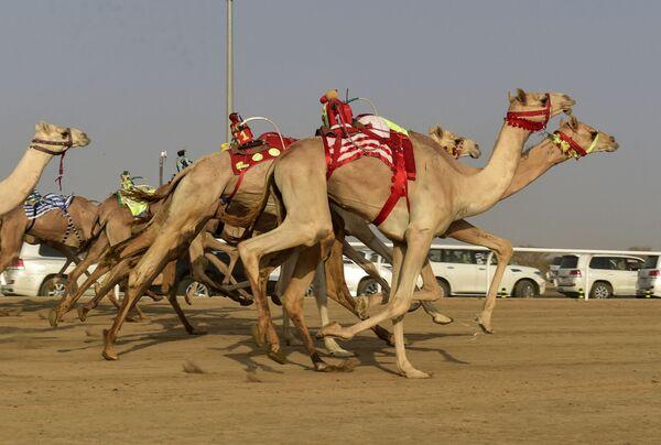 L'evento ha contribuito a rendere il Regno dell'Arabia Saudita primo paese al mondo per sport di cammelli, con la creazione di una federazione internazionale di cammelli, guidata dall'Arabia Saudita, con sede a Riyadh. - Sputnik Italia
