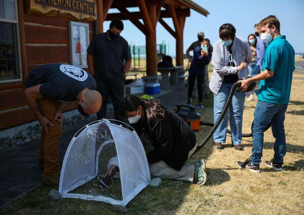 Nella pubblicazione del WSDA è stato riportato che a Blaine verranno installate trappole speciali per catturare un calabrone gigante vivo. Questo è necessario per etichettare l'insetto e identificare la sua strada verso il nido. - Sputnik Italia