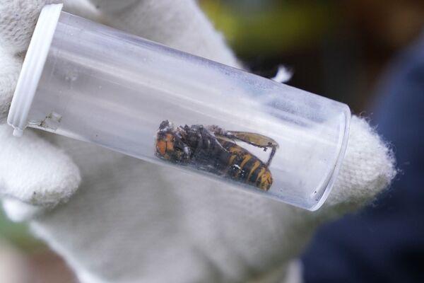 Il messaggio è arrivato da un residente della regione l'11 agosto: l'uomo ha inviato una foto di un calabrone gigante simile a una specie asiatica (Vespa mandarinia) considerata uno dei più pericolosi insetti del mondo.  - Sputnik Italia