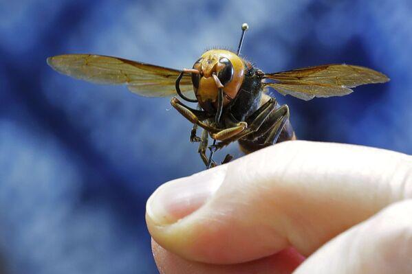 La Vespa mandarinia è il calabrone più grande del mondo. La lunghezza dei singoli esemplari supera i cinque centimetri e l'apertura alare è di circa 7,5 centimetri. Questi insetti producono un veleno altamente tossico, quindi una puntura di calabrone può essere mortale per l'uomo. - Sputnik Italia