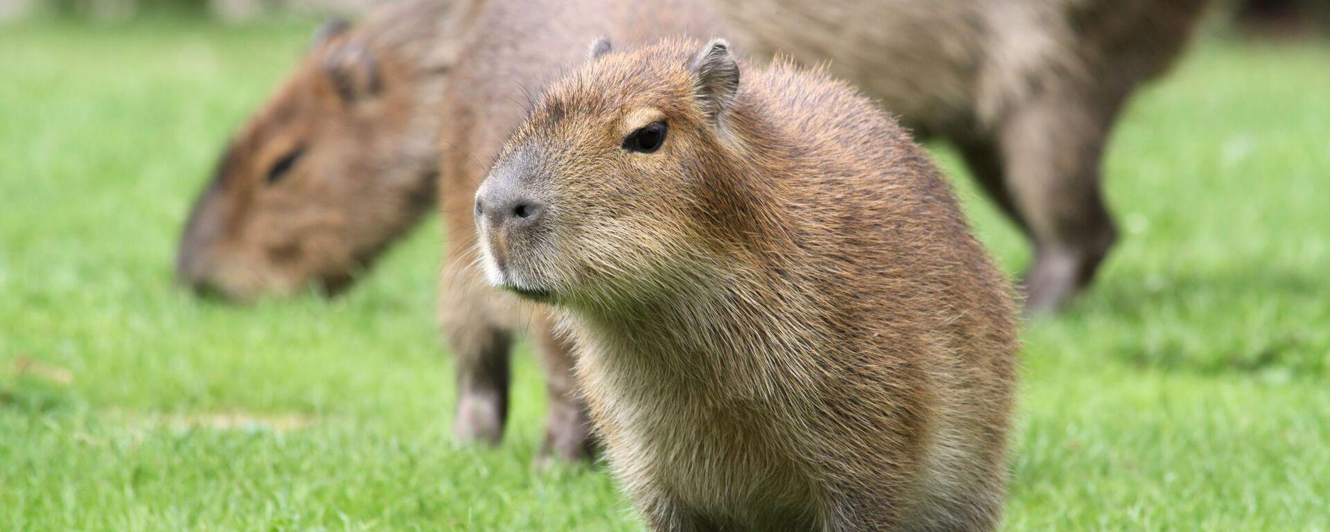 Un giovane capibara - Sputnik Italia, 1920, 25.08.2021