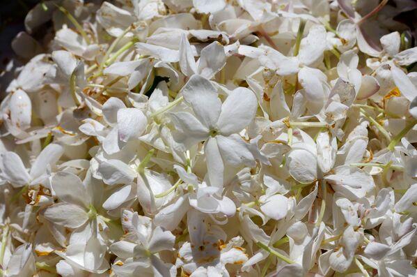 Ernest Beaux inventò un'architettura olfattiva senza precedenti, selezionando i fiori più preziosi coltivati a Grasse e mescolandoli con le aldeidi. - Sputnik Italia