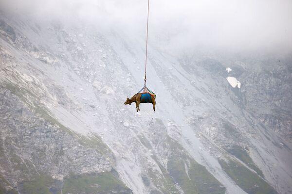 Le mucche in Svizzera sono state trasportate in aereo sul fondo dei loro prati alpini. Circa 10 degli animali sono stati prelevati in elicottero dalle creste nella regione del Klausenpass, nel centro del paese. - Sputnik Italia