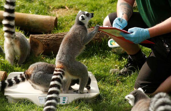 """Il manager dello zoo, Matthew Webb, ha dichiarato: """"Con così tanti animali, con personalità così diverse, i dipendenti dello zoo devono escogitare metodi creativi per attirarli sulla bilancia"""". - Sputnik Italia"""