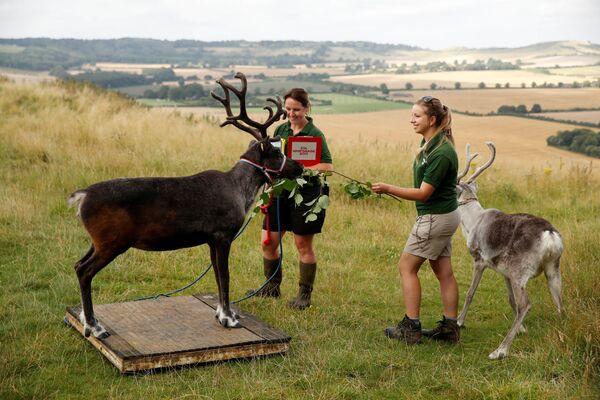 Una renna su una bilancia allo ZSL Whipsnade Zoo. - Sputnik Italia