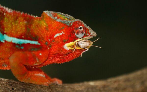 Il camaleonte pantera pesa 209g, circa un quinto di un sacco di farina. - Sputnik Italia