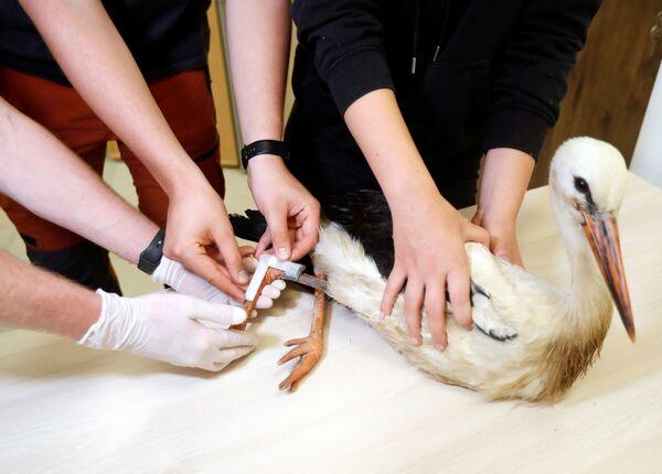 I veterinari hanno sviluppato una protesi di plastica per l'animale. - Sputnik Italia