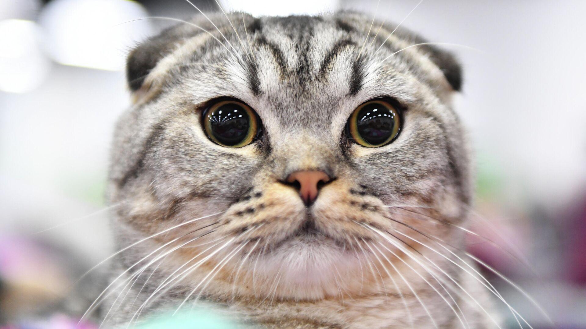 Un gatto di razza Scottish Fold - Sputnik Italia, 1920, 08.09.2021