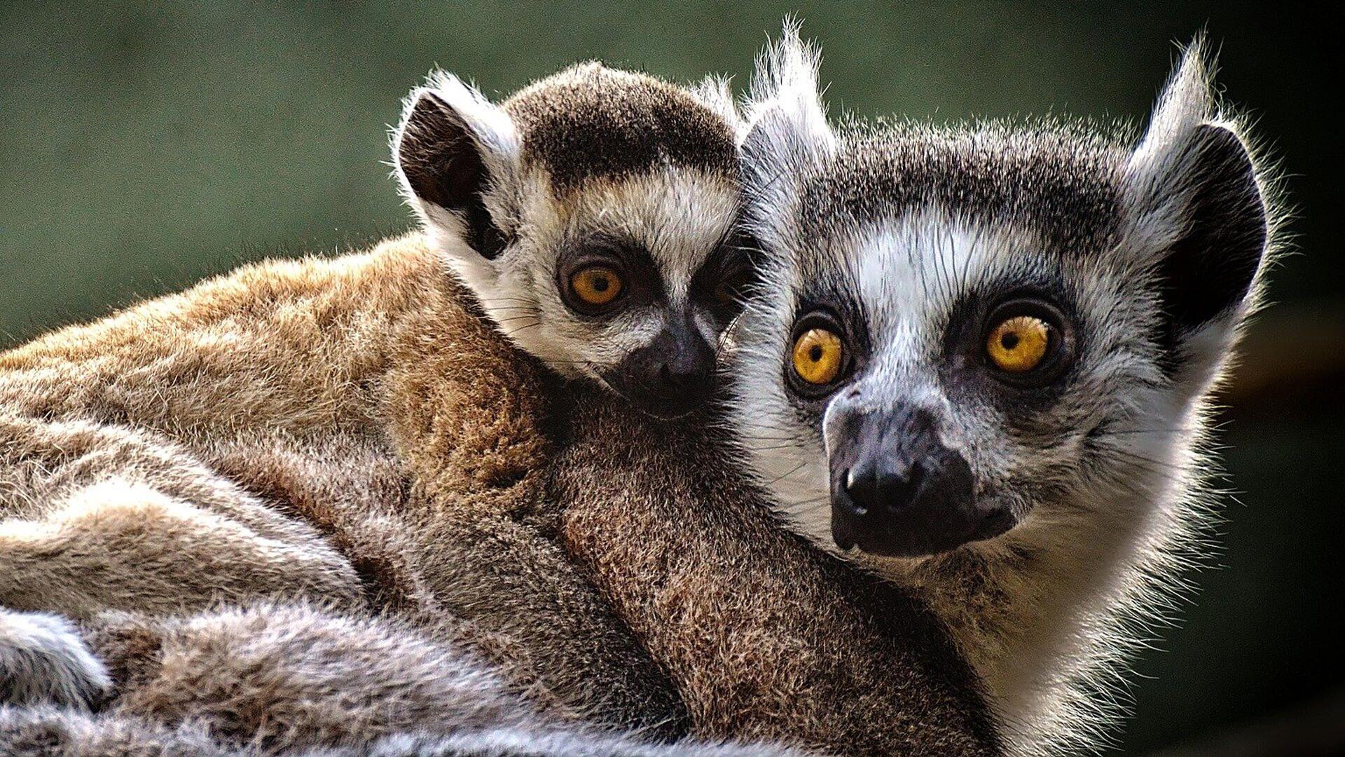 Due lemuri - immagine metaforica - Sputnik Italia, 1920, 10.09.2021
