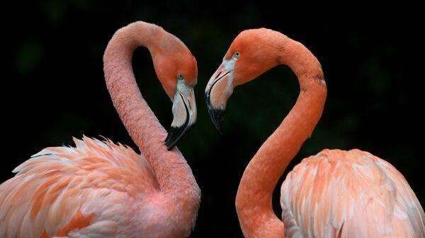 Фламинго в зоопарке Хеллабрунн в Мюнхене - Sputnik Italia