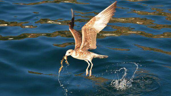 Чайка охотится в Балаклавской бухте Севастополя - Sputnik Italia