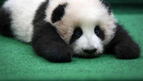 3-х месячный детеныш гигантской панды в национальном зоопарке в Куала-Лумпура - Sputnik Italia