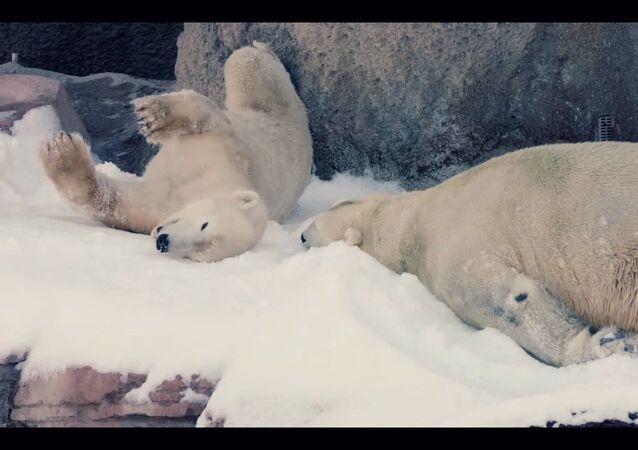 Gli orsi polari godono la neve nello zoo di San Diego