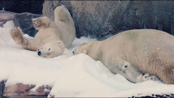 Gli orsi polari godono la neve nello zoo di San Diego - Sputnik Italia