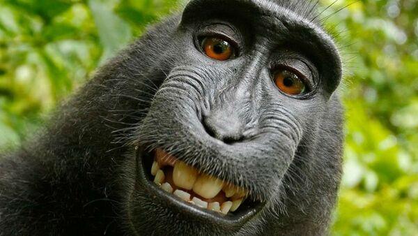 PETA monkey selfie - Sputnik Italia
