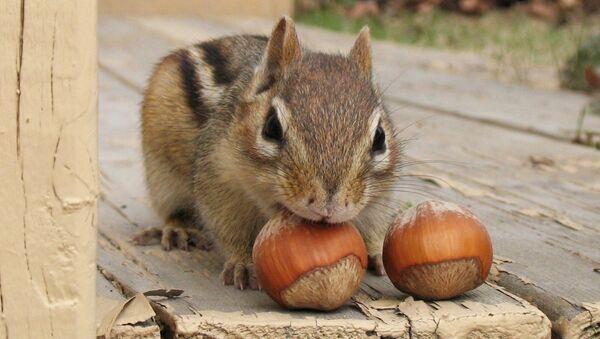 Un scoiattolo striato (Tamias) - Sputnik Italia