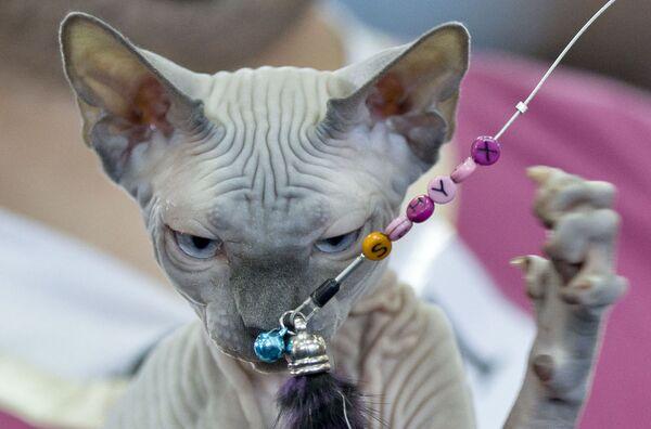 Un gatto sfinge gioca con una collana alla Mostra dei felini di Bucarest. - Sputnik Italia