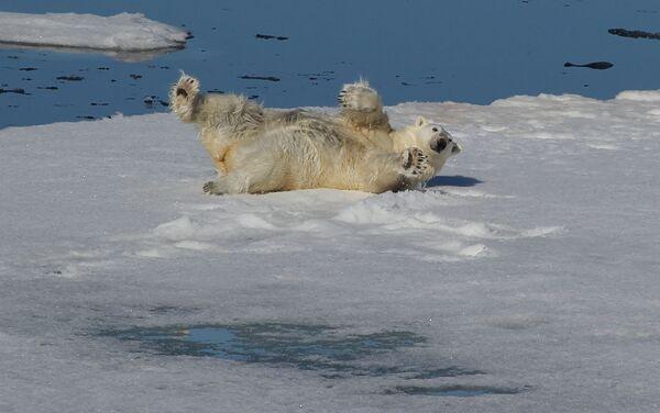 Un orso bianc nell'Oceano glaciale artico tra la Terra di Francesco-Giuseppe e il Polo Nord. - Sputnik Italia