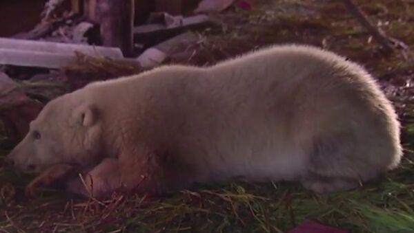 Salvataggio di un orso in Chukotka - Sputnik Italia