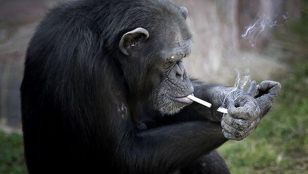 Курящая обезьяна в зоопарке Пхеньяна, КНДР - Sputnik Italia