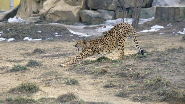 Il ghepardo - Sputnik Italia