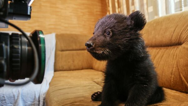 Un cucciolo di orso davanti all'obiettivo di un fotografo - Sputnik Italia