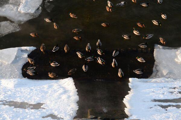 Anatre nel fiume Moscova. - Sputnik Italia