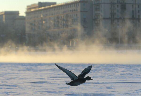 Un'anatra vola sopra la Moscova congelata. - Sputnik Italia