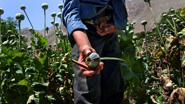 A close-up of an opium poppy - Sputnik Italia