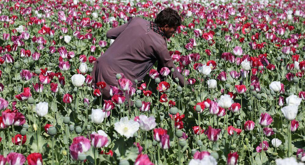 Droga, papaveri da oppio in Afghanistan