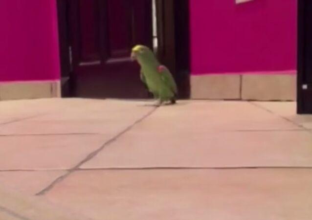 La risata del pappagallo.