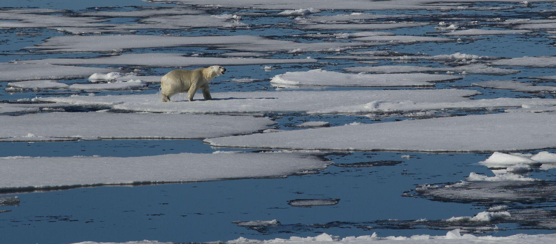 Un orso bianco nell'Artico - Sputnik Italia, 1920, 29.03.2019