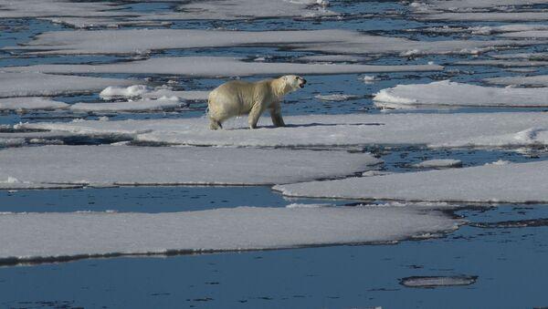 Un orso bianco nell'Artico - Sputnik Italia