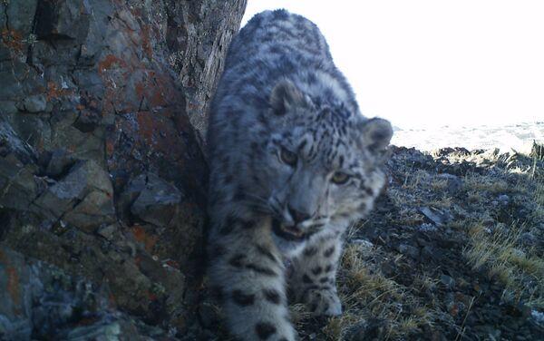 Il leopardo delle nevi - Sputnik Italia