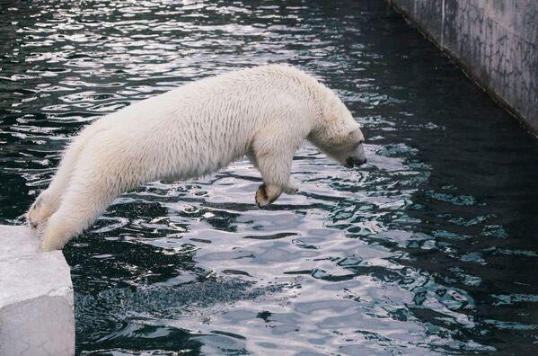 Un orso bianco nello zoo di Mosca. - Sputnik Italia