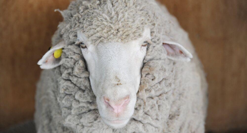 Una pecora