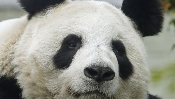 A Sept 22 2014 file photo of Tian Tian, the United Kingdom's at Edinburgh Zoo, Scotland. Edinburgh Zoo says the giant panda is believed to be pregnant. The zoo said Thursday, Aug. 24, 2017 that Tian Tian is being closely monitored, but it can't say when she will give birth. - Sputnik Italia