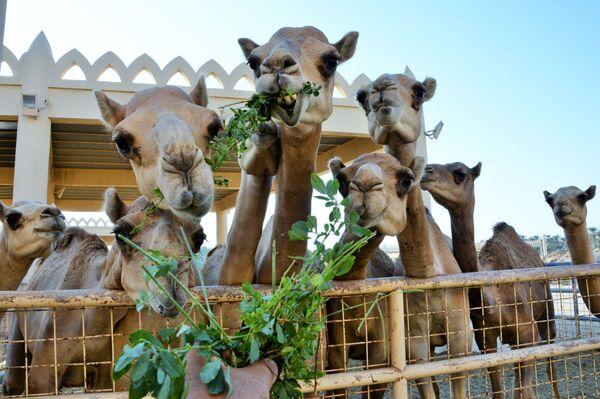 Una fattoria reale di cammelli in Bahrein. - Sputnik Italia