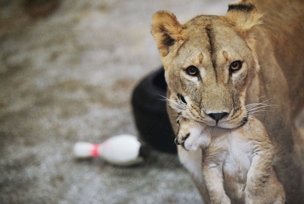 Una leonessa Emma con uno dei tre cuccioli nati il 30 settembre nello zoo di Ekaterinburg.