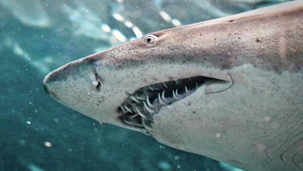 Shark - Sputnik Italia