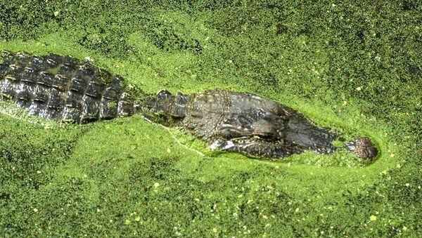 Un alligatore - Sputnik Italia