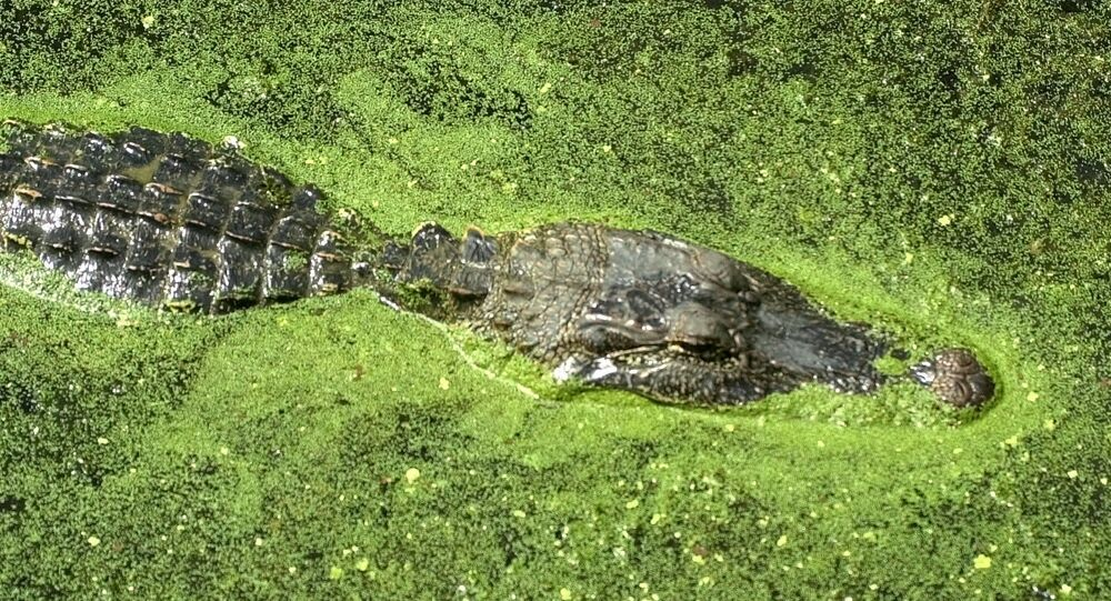 Un alligatore
