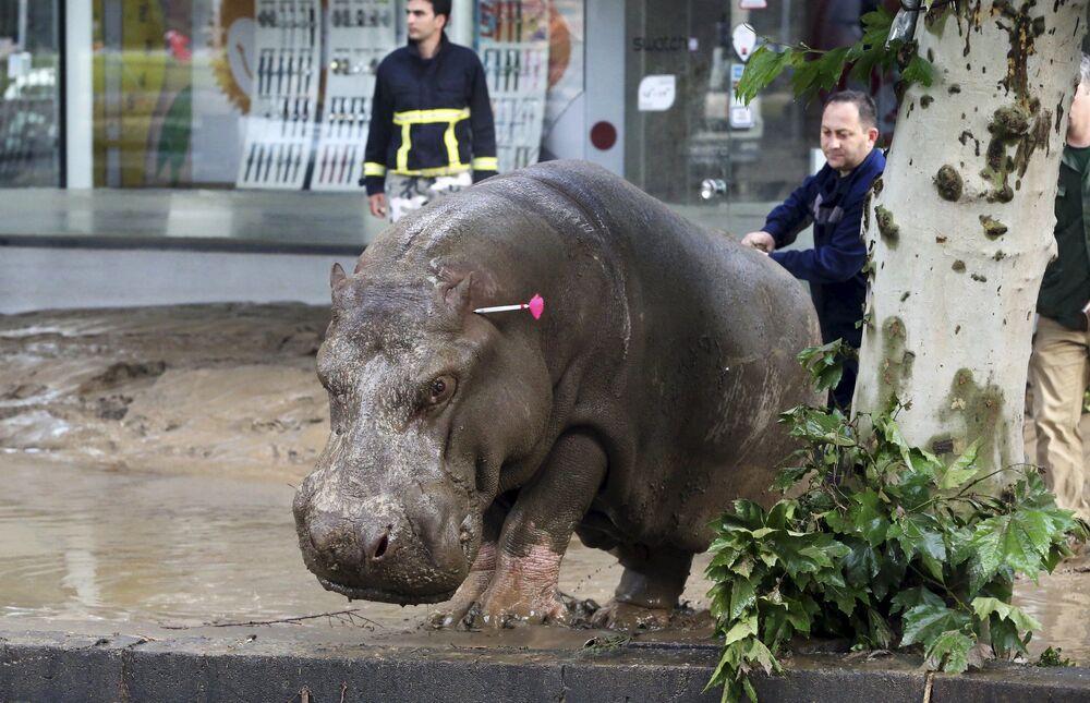 Un soccorritore guida l'ippopotamo scappato dallo zoo di Tbilisi.