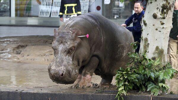 Un salvatore mostra la strada a un ippopotamo a Tbilisi. - Sputnik Italia
