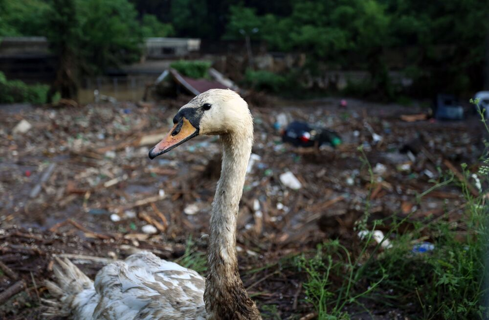 Un cigno ferito allo zoo inondato a Tbilisi.